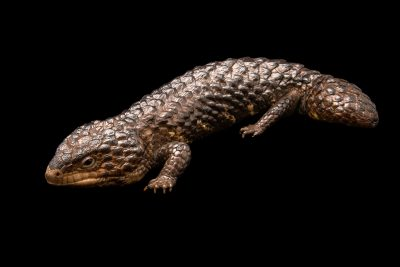 Photo: Shingleback lizard (Tiliqua rugosa) at Moonlit Sanctuary