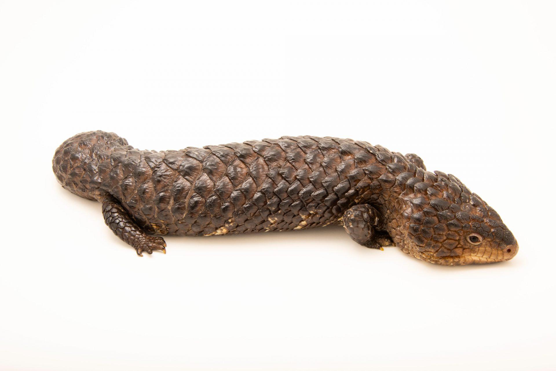 Photo: Shingleback lizard (Tiliqua rugosa) at Moonlit Sanctuary