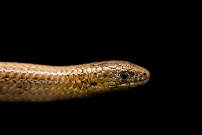 Photo: Striped legless lizard (Delma impar) at Moonlit Sanctuary