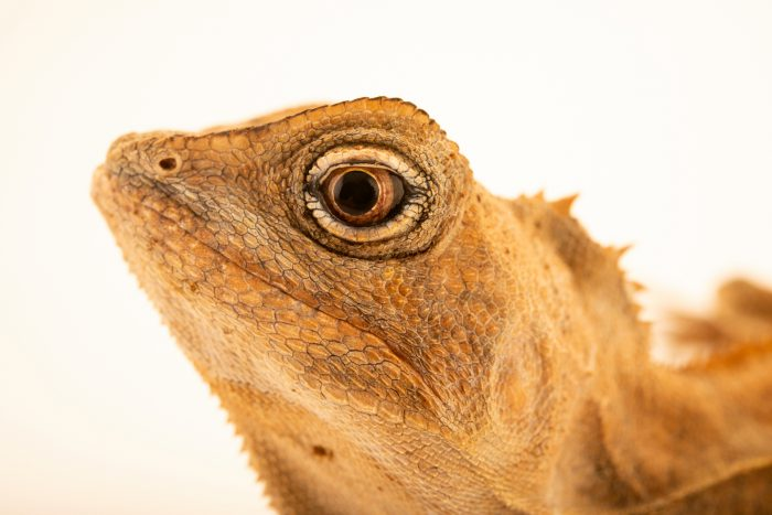 Photo: Southern Angle headed dragon (Lophosaurus spinipes) at Lilydale High School in Australia.