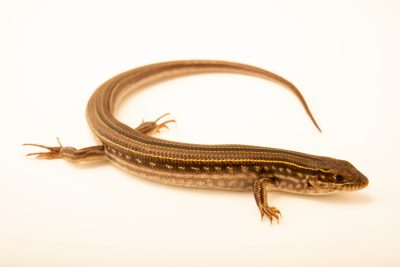 Photo: Eastern striped skink (Ctenotus robustus) at Lilydale High School in Australia.