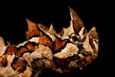 Photo: Thorny devil (Moloch horridus) from the Melbourne Museum