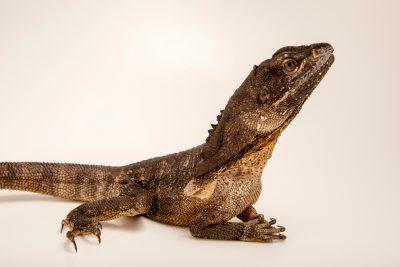 Photo: Frilled lizard (Chlamydosaurus kingi) at Lilydale High School, Victoria, Australia.