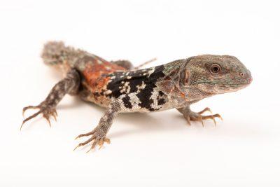 Photo: Spiny-tailed iguana (Ctenosaura defensor) at Urban Ark Conservation