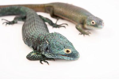 Photo: BocourtÕs arboreal alligator lizard (Abronia vasconcelosii) at Urban Ark Conservation