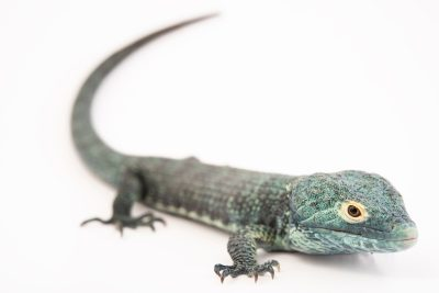 Photo: BocourtÕs arboreal alligator lizard (Abronia vasconcelosii) at Urban Ark Conservation
