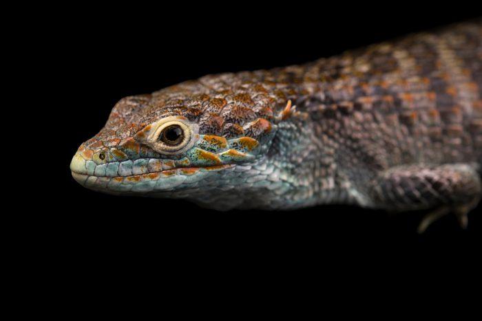 Photo: Endangered Cope's arboreal alligator lizard (Abronia aurita) at Urban Ark Conservation.