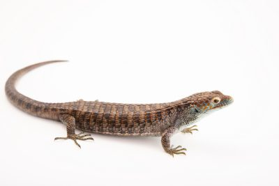 Photo: Endangered Cope's arboreal alligator lizard (Abronia aurita) at Urban Ark Conservation.