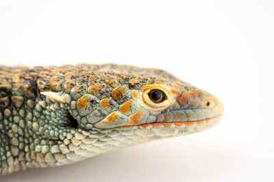 Photo: Endangered CopeÕs arboreal alligator lizard (Abronia aurita) at Urban Ark Conservation