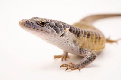 Photo: Endangered Arboreal alligator lizard (Abronia fimbriata) at Urban Ark Conservation