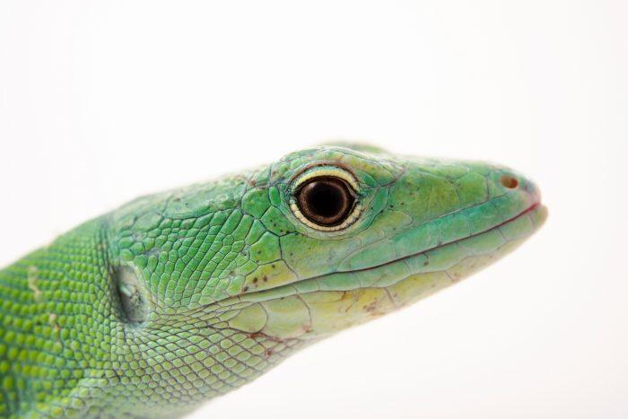 Photo: Green keel-bellied lizard (Gastropholis prasina) at Urban Ark Conservation