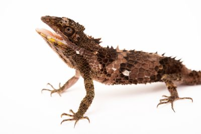Photo: Pygmy lizard (Cophotis ceylanica) at Urban Ark Conservation