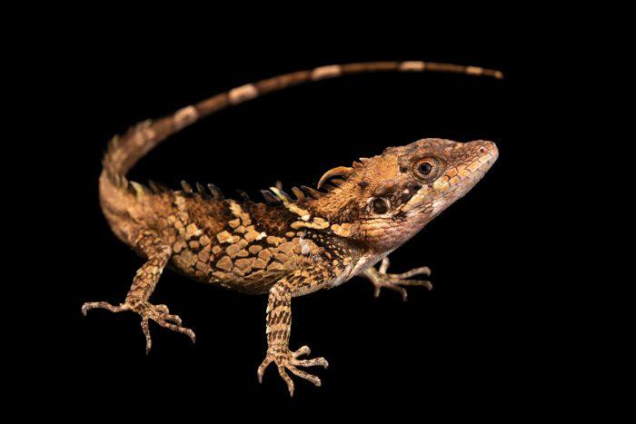 Photo: Anaimalai spiny lizard (Salea anamallayana) at Urban Ark Conservation