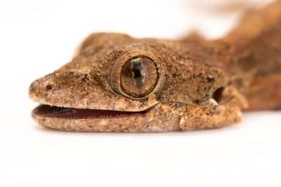 Photo: Flying gecko (Ptychozoon kuhli) at Urban Ark Conservation