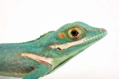 Photo: Baracoa giant anole (Anole baracoae) at the Urban Ark Conservation