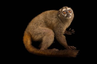 Picture of a Panamanian night monkey (Aotus zonalis) at the Nispero Zoo.