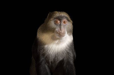 Picture of a blue monkey (Cercopithecus albogularis) at the Cheyenne Mountain Zoo.