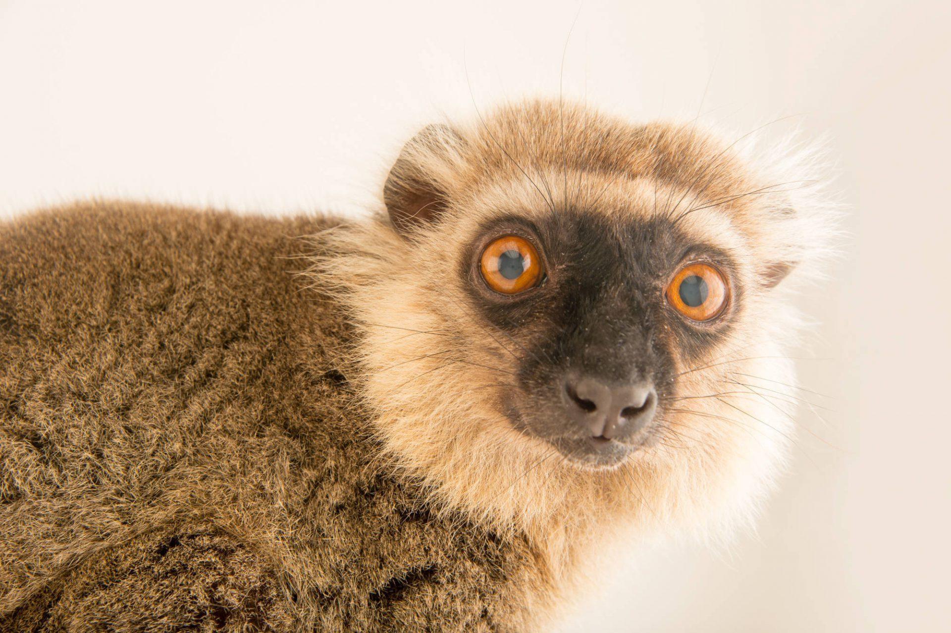 Picture of Ikoto, the last captive, endangered, male Sanford's lemur (Eulemur sanfordi) at the Lemur Conservation Foundation near Myakka City, Florida.
