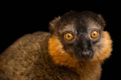 Picture of a vulnerable collared brown lemur (Eulemur collaris) at the Lemur Conservation Foundation near Myakka City, Florida.