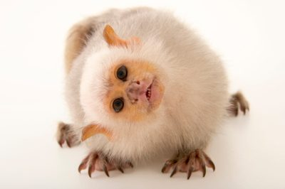 Picture of a silvery marmoset (Mico argentatus) at the Plzen Zoo in the Czech Republic.