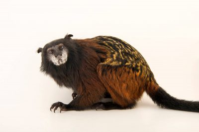 Photo: Red-mantle saddle-back tamarin (Saguinus fuscicollis lagonotus) at the Plzen Zoo in the Czech Republic.