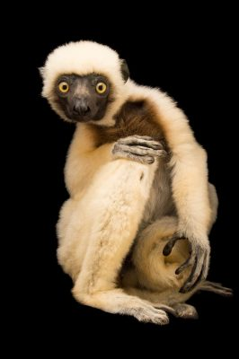 Photo: A Von der Decken's sifaka at Lemuria Land.