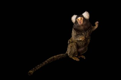 A common marmoset (Callithrix jacchus) at the Henry Doorly Zoo and Aquarium. This animal's name is Ivan. He was a pet who was confiscated and brought to the zoo.