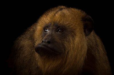 A female Black howler monkey (Alouatta caraya) at the Henry Doorly Zoo and Aquarium.