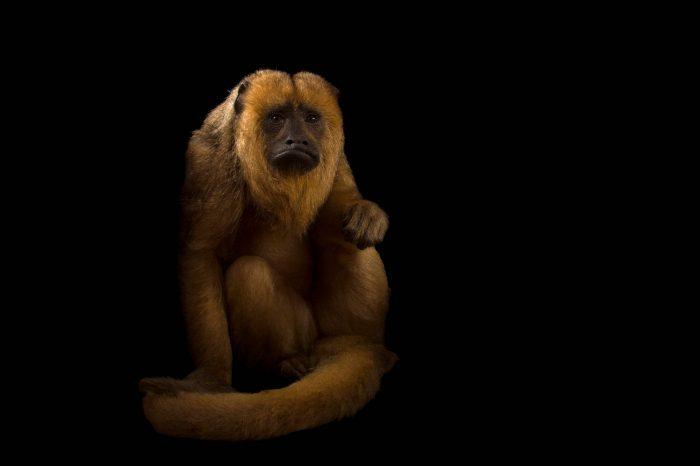 A female Black howler monkey (Alouatta caraya) named Pipi at the Henry Doorly Zoo and Aquarium.
