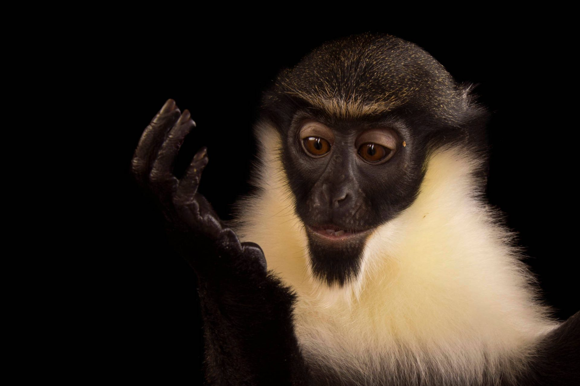 A vulnerable (IUCN) and federally endangered, young female Diana monkey (Cercopithecus diana) at the Henry Doorly Zoo and Aquarium.