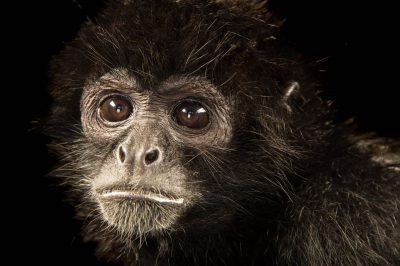 Photo: An endangered Colombian spider monkey (Ateles geoffroyi rufiventris) at Parque Jaime Duque near Bogota, Colombia.
