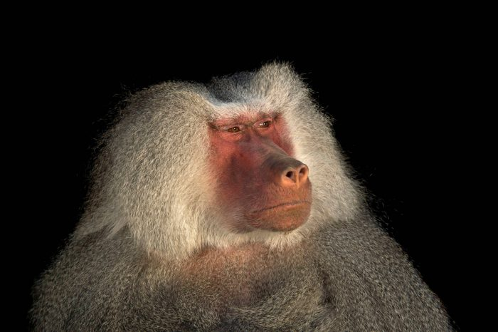 Picture of a male Hamadryas baboon (Papio hamadryas) at Parque Jaime Duque near Bogota, Colombia.