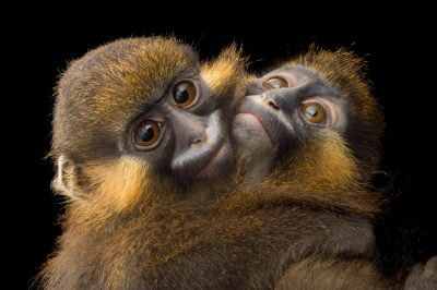Picture of grey-tailed moustached monkeys (Cercopithecus cephus cephodes) named Arlo and Blue at the wildlife rehab center of ONG Animals World in Libreville, Gabon.