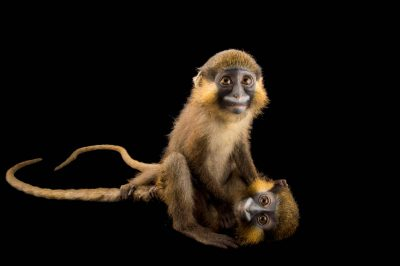 Picture of grey-tailed moustached monkeys (Cercopithecus cephus cephodes) named Arlo and Blue at Park Assango, ONG Animal's World in Libreville, Gabon.