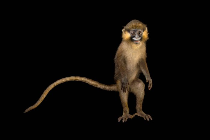 Picture of a grey-tailed moustached monkey (Cercopithecus cephus cephodes) at Park Assango, ONG Animal's World in Libreville, Gabon.