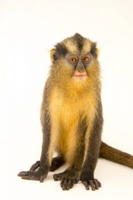 Photo: Crested mona monkey (Cercopithecus pogonias nigripes) named Amber at Park Assango, run by ONG Animal's World in Libreville, Gabon.