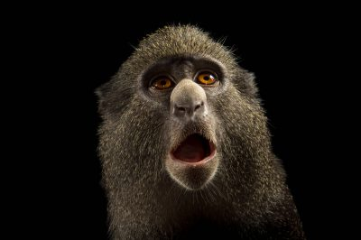 Photo: Putty-nosed monkey (Cercopithecus nictitans) named Ruby at the ONG Animal's World in Libreville, Gabon.