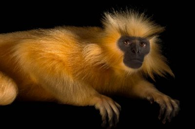 Picture of an endangered (IUCN) and federally endangered Gee's golden langur (Trachypithecus geei) at the Assam State Zoo cum Botanical Garden.