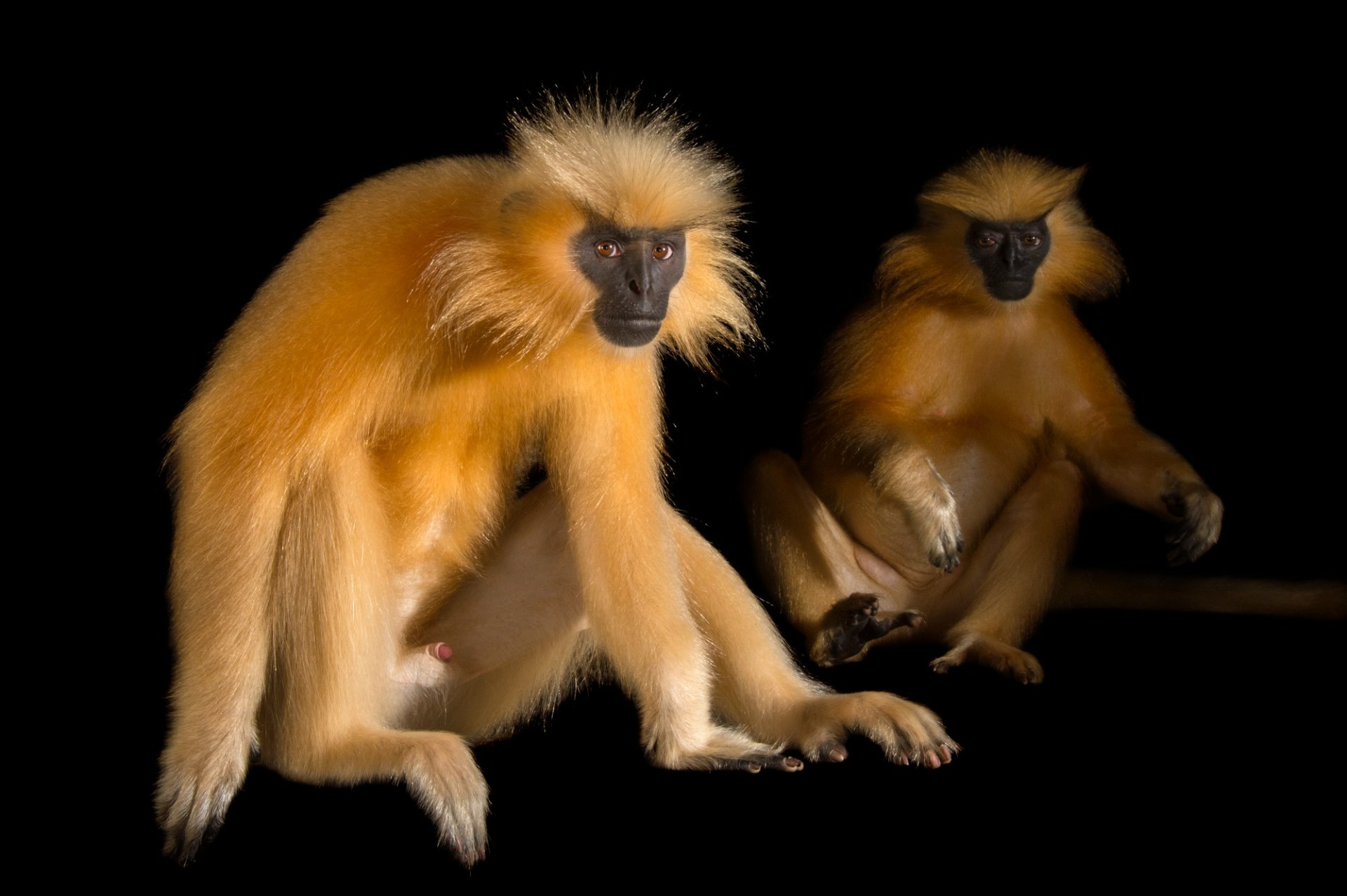 Picture of endangered (IUCN) and federally endangered Gee's golden langurs (Trachypithecus geei) at the Assam State Zoo cum Botanical Garden.