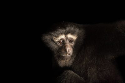 Photo: A male, endangered Western hoolock gibbon (Hoolock hoolock) at the Assam State Zoo cum Botanical Garden.