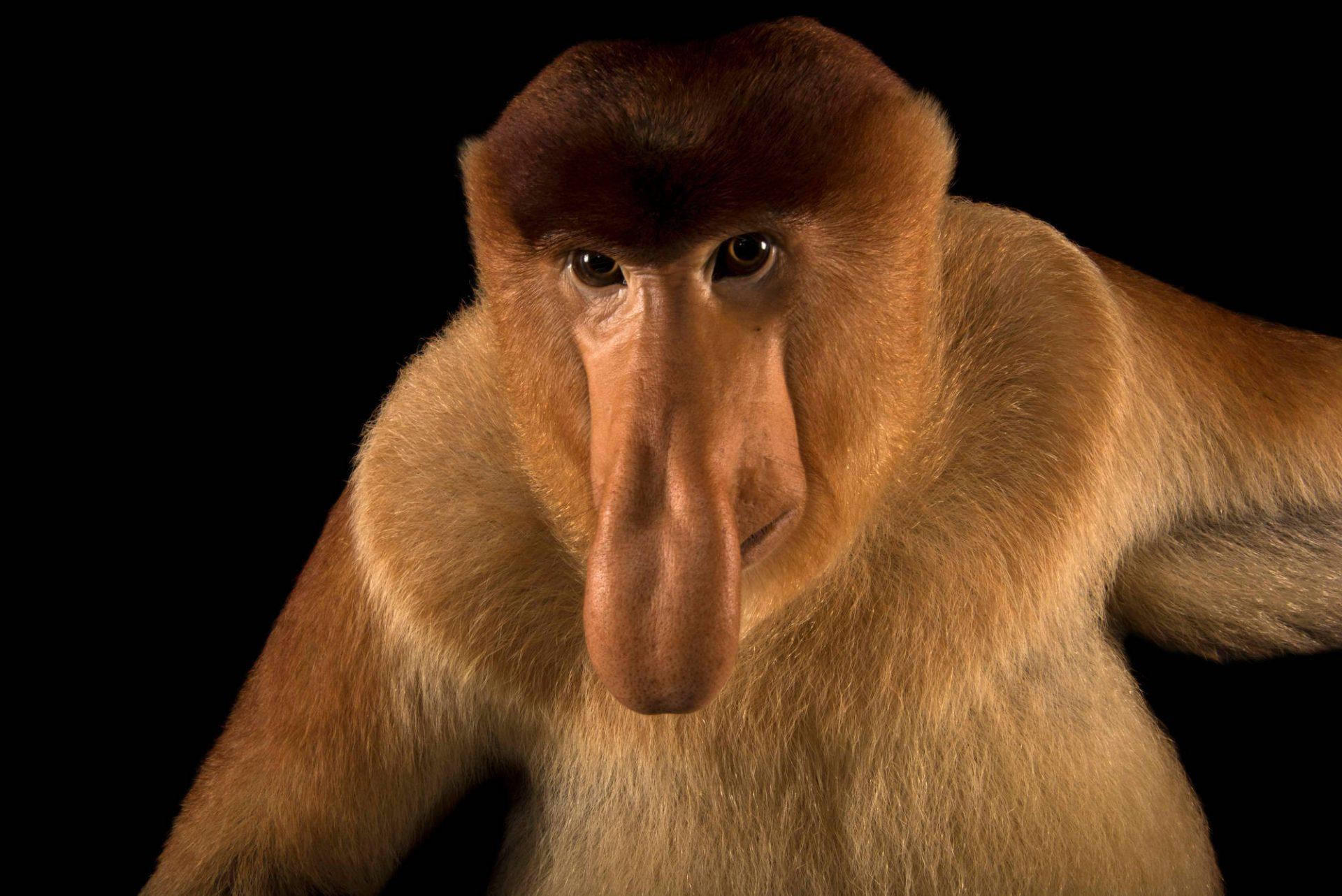 картинки обезьян с длинным носом миску ломтик ржаного