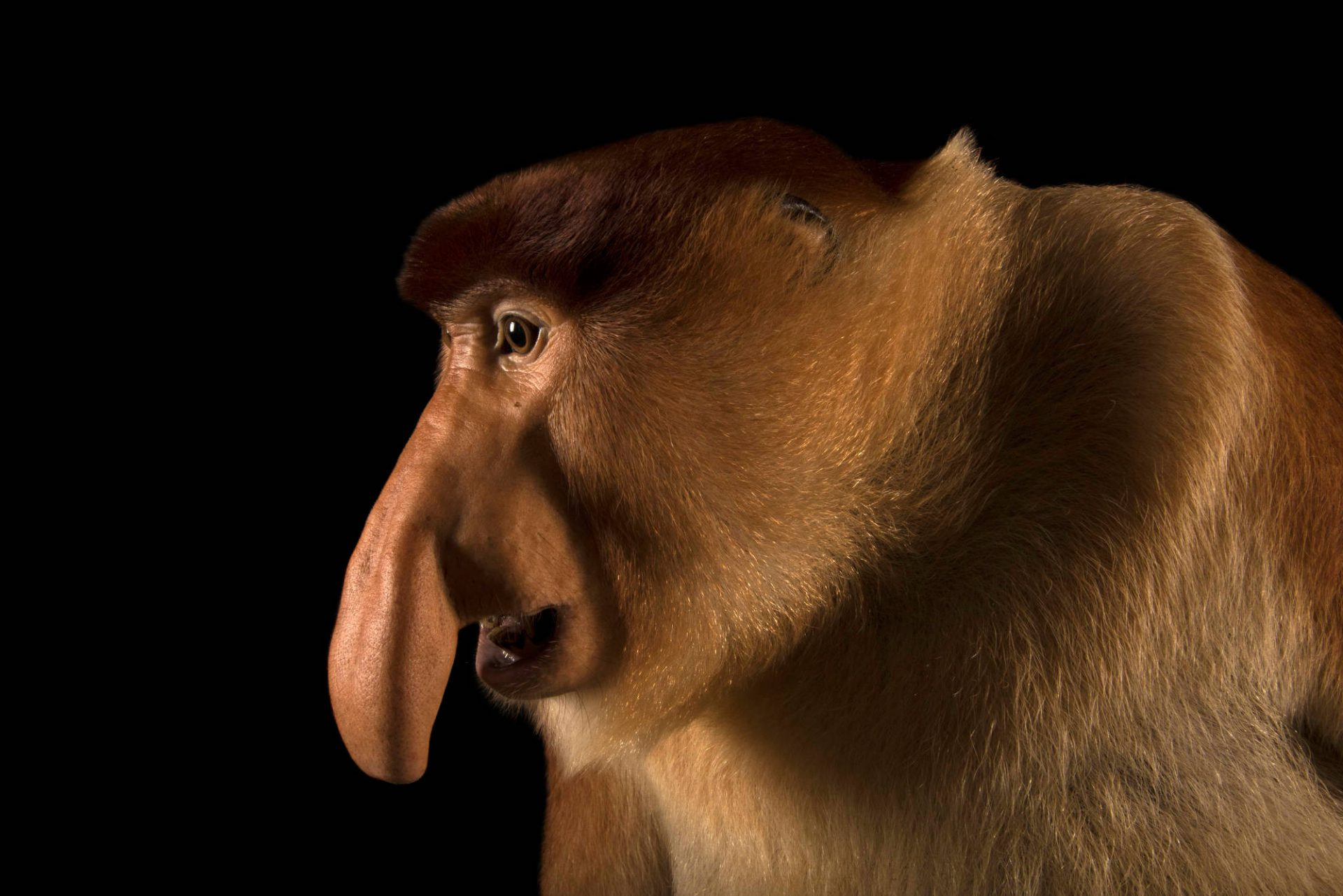 Photo: A proboscis monkey (Nasalis larvatus) at the Singapore Zoo.