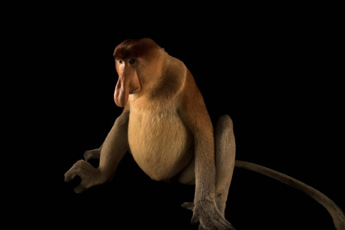 Photo: A proboscis monkey (Nasalis larvatus) at the Singapore Zoo.