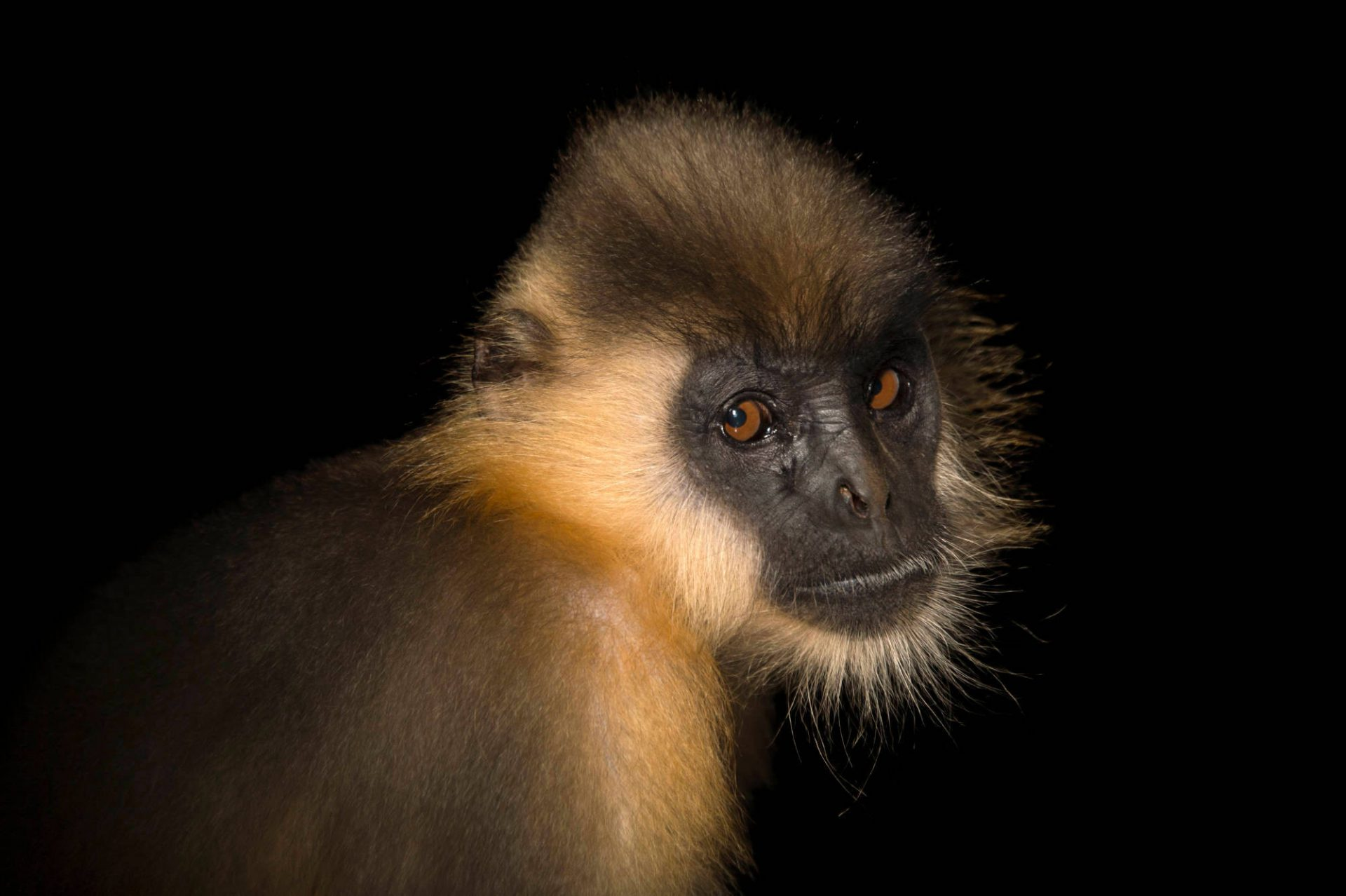 Photo: Capped langur (Trachypithecus pileatus) at the Assam State Zoo in Guwahati, Assam, India.