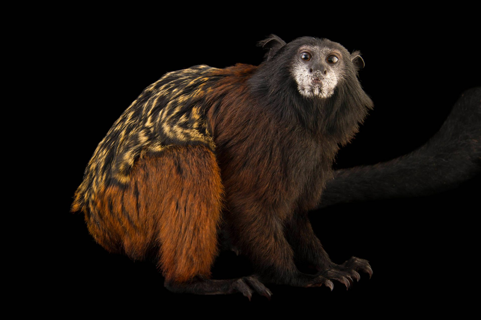 A red-mantled saddle-back tamarin (Saguinus lagonotus) at the Plzen Zoo in the Czech Republic.