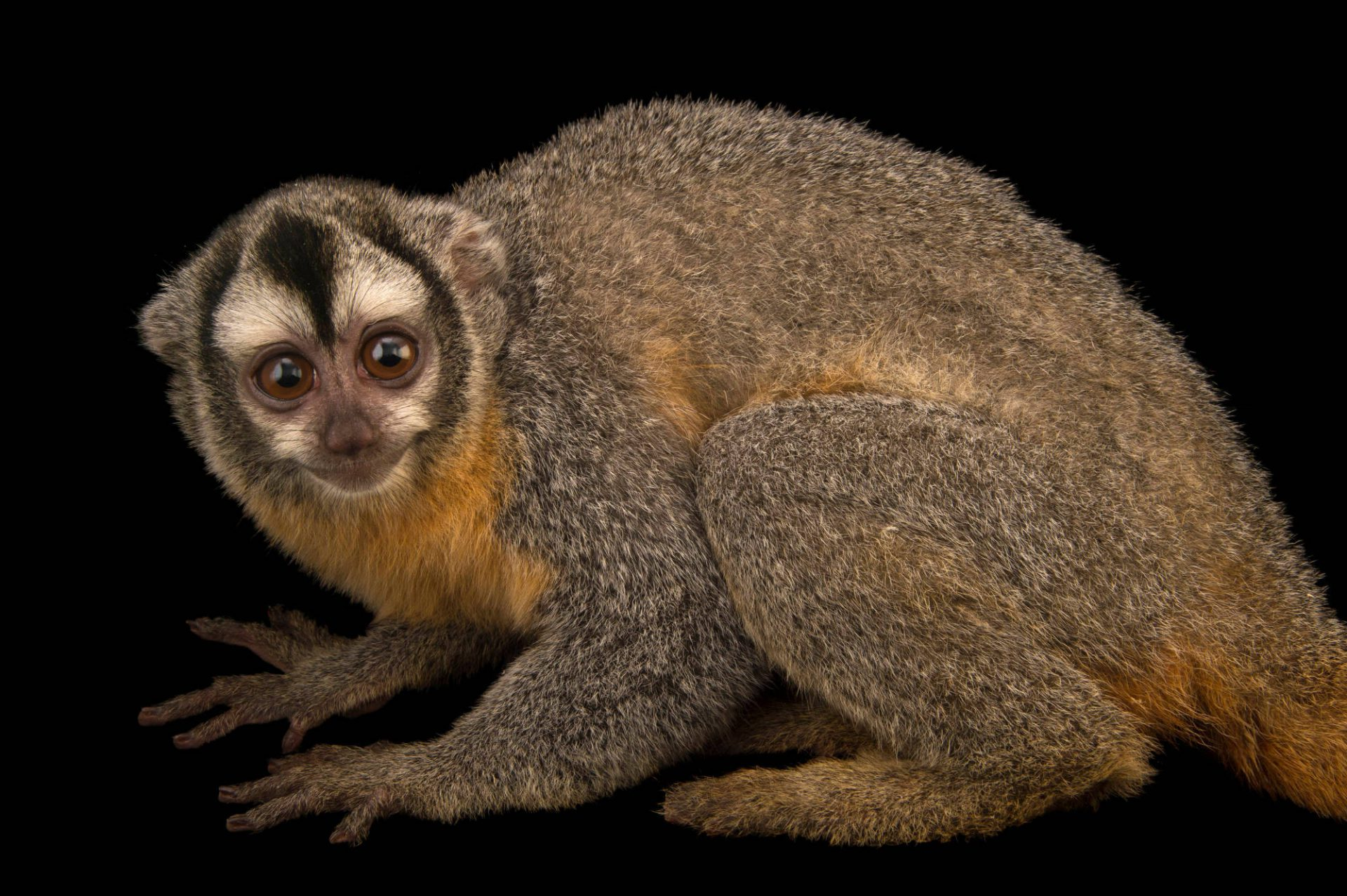 Photo: A Bolivian night monkey (Aotus azarae boliviensis) at the Plzen Zoo in the Czech Republic.