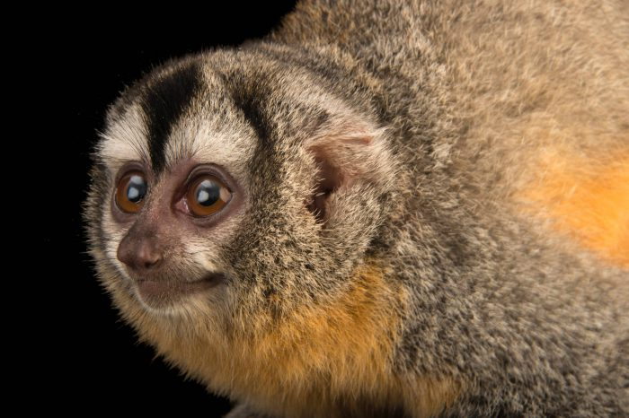 Photo: A Bolivian night monkey ( Aotus azarae boliviensis) at the Plzen Zoo in the Czech Republic.
