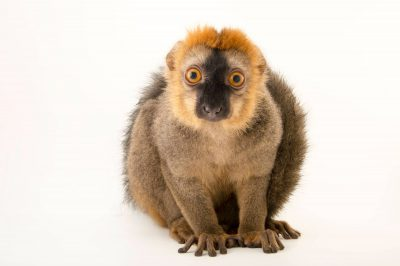 Picture of a red-fronted brown lemur (Eulemur rufifrons) at the Plzen Zoo in the Czech Republic.