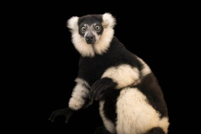 Picture of a critically endangered white-belted black-and-white ruffed lemur (Varecia variegata subcincta) at the Plzen Zoo in the Czech Republic.