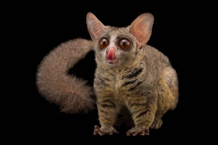 Photo: Northern lesser galago (Galago senegalensis senegalensis) at the Plzen Zoo in the Czech Republic.